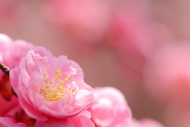 北野天満宮の梅苑の見ごろ時期やおすすめの時期と楽しみ方