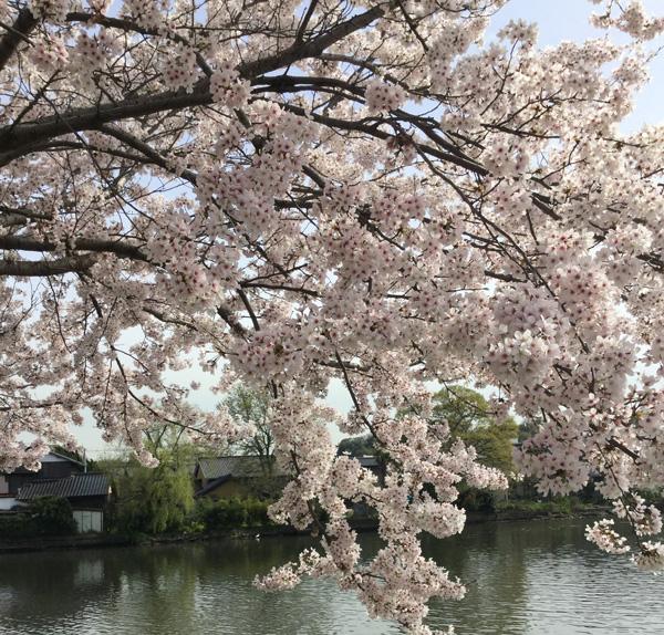 造幣局の桜の通り抜けのおすすめ時期や所要時間と楽しみ方